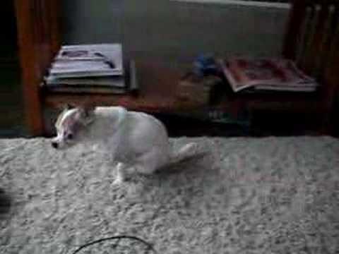 Chihuahua Booty Wipe Youtube