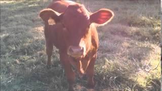 Деревенская жизнь в США - коровы, коты у мамы в гостях. Country life in USA. в США. LifeinUSA