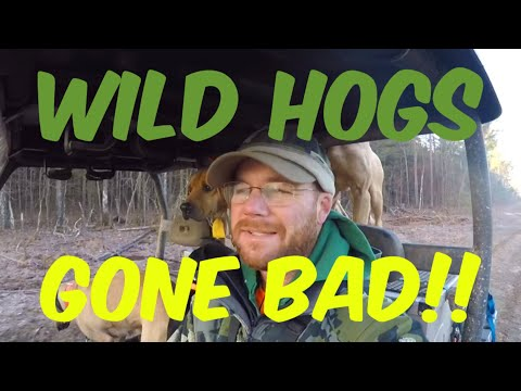 WILD HOGS GONE BAD 😰😰😰 At Hollis Farms