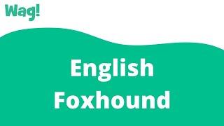 English Foxhound | Wag!