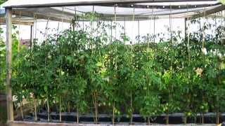 3 варианта выращивания помидор   высокие грядки   не полоть. tomato