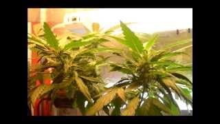 Ep. 7 Week 5 Of Flower | Indoor Cfl Cannabis Grow Cabinet Experiment Closet