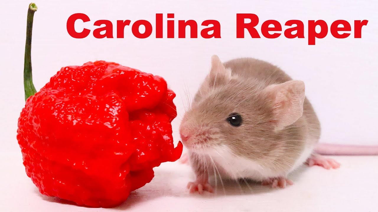 does-the-world-s-hottest-pepper-repel-mice-rats-carolina-reaper-mousetrap-monday