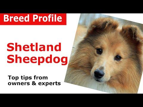 Shetland Sheepdog 'Sheltie' Dog Breed Guide