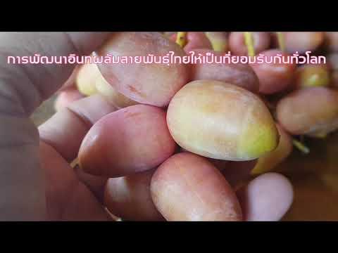 พัฒนาอินทผาลัมสายพันธุ์ไทยให้เป็นที่ยอมรับกันทั่วโลก