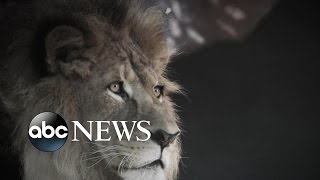 How Cecil the Lion Became Iconic Zimbabwe Animal