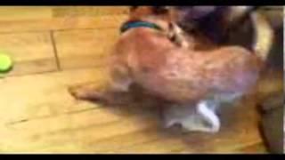 Australian Cattle Dog Making Dingo Sounds, Volume Beware