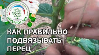 Как правильно подвязать перец в теплице. Подвязка перца.(В этом ролике - полезная видео-инструкция о том, как правильно подвязать растения перца в защищенном грунте...., 2015-06-08T12:30:53.000Z)