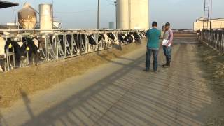 Dino Giacomazzi, Kings County dairy farmer