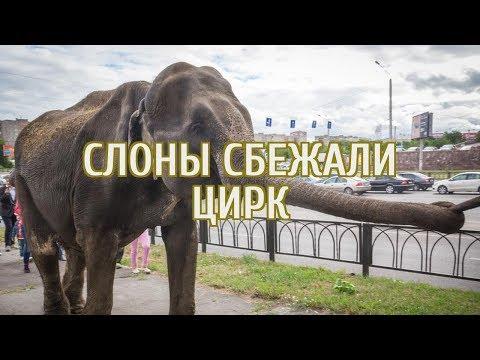 🔴 По центру Екатеринбурга разгуливают слоны