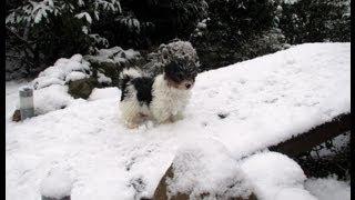 Biewer-yorkshire-terrier Spielt Mit Schneeflocken