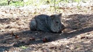 Gambar cover If you think you can outrun a three legged Javelina, you are wrong! 02072020