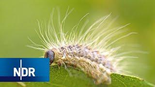Eichenprozessionsspinner Und Co: Invasion Der Plagen   Doku   Ndr   45 Min
