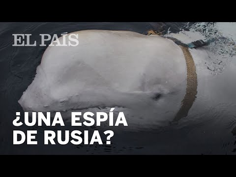 ¿Es esta BALLENA BELUGA una ESPÍA RUSA?