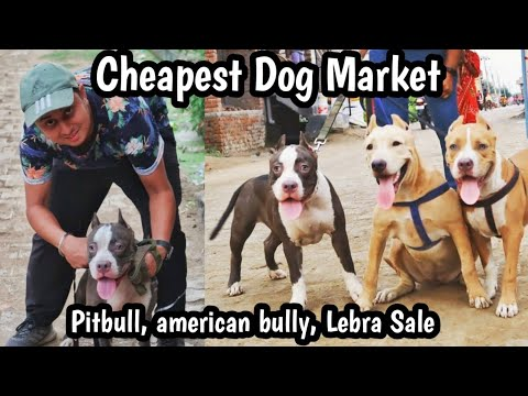 Cheapest Dog Market |  Wholesale & Retail | Cheap Dogs Pit Bull, American Bully VANSHMJ