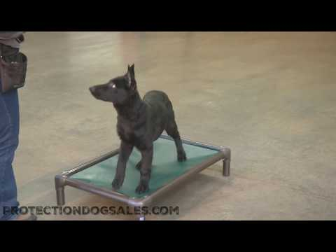 "cool-early-puppy-training-""zaria""-4-1/2-mo's-off-leash-obedience-trained-dog-for-sale"