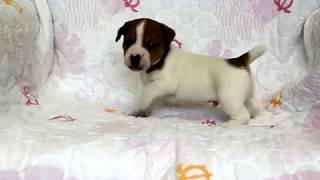 関西ジャックラッセルテリア子犬販売→ https://www.at-breeder.net/jack...