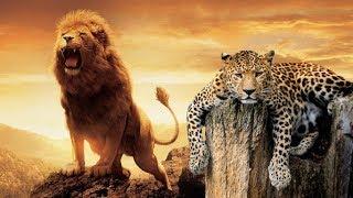 Büyük Kediler  - (ASLAN, KAPLAN, LEOPAR ve JAGUAR)