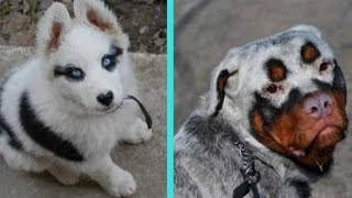 Repeat youtube video 31 Unique Dogs With Unbelievable Fur Markings