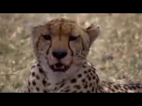 Cheetahs and snakes hunt in the African wild - BBC wildlife