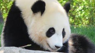 タイヤで遊んだり、転がってる結浜♪ Giant Panda Yuihin♪