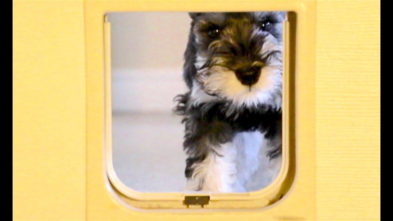 Frustrated MIni Schnauzer Puppy Canu0027t Get Thru Cat Hole Door