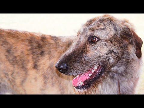 Irish Wolfhound Funny Moments #103