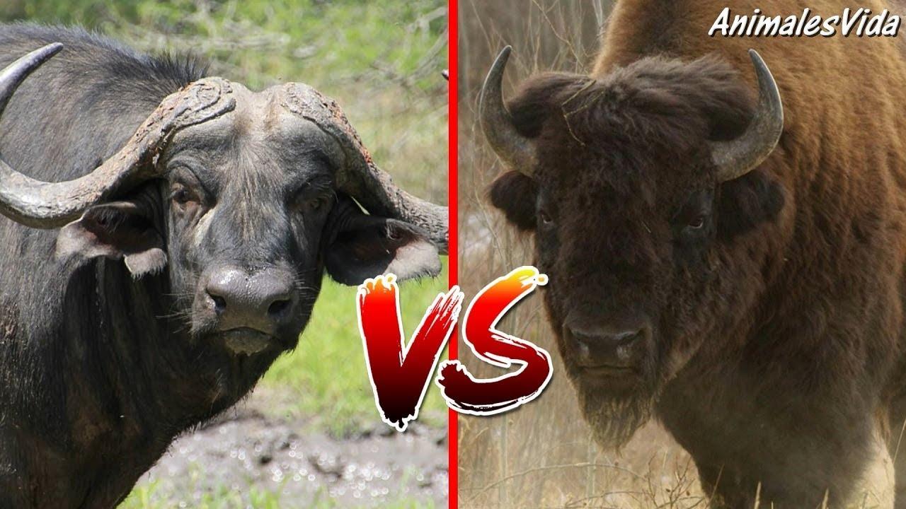 Diferencias entre búfalo y bisonte
