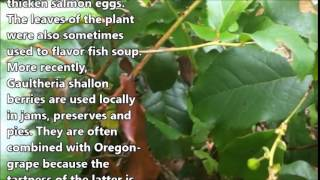 salal-native-to-the-north-west-areas-berries-leaves-are-edible-lose-weight