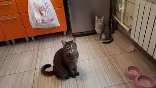 Коты хотят мясо