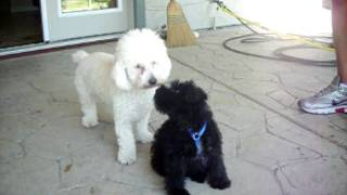 Toy Poodle And Mini Schnauzer Puppy