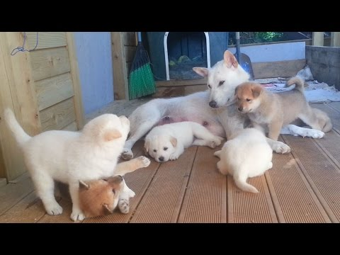 [16] 엄마 진돗개와 새끼 강아지들의 가슴 저려오는 잠깐의 행복 /A heartbreaking happy time for mother dog along with pups