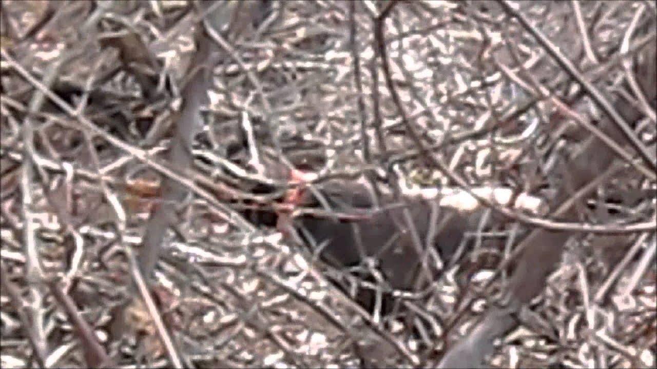 Pheasant hunt, New England