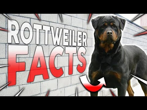 Top 10 ROTTWEILER Facts!