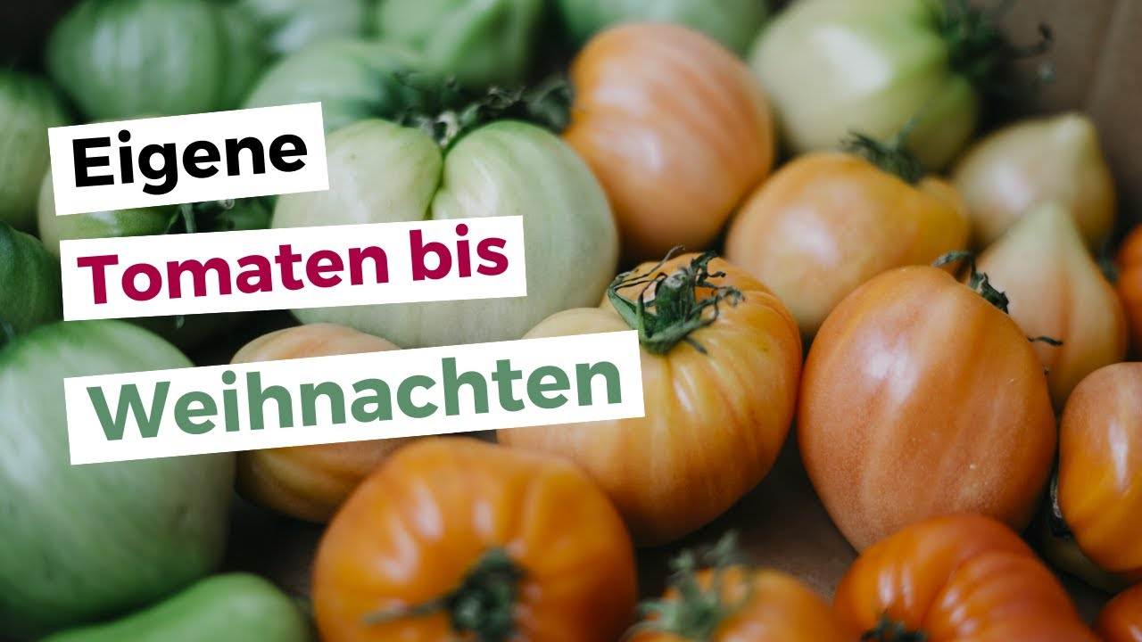 tomaten nachreifen lassen die einfachste methode um gr ne unreife tomaten nachzureifen youtube