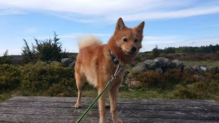 Finnish spitz on the moor with best friend