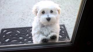 OH NO! NOT THE LEAF BLOWER!  Maltipoo Puppy