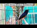 Cililin Nembak Keras Dan Rapat Masteran Favorit Murai Batu Cucak Ijo Dan Kacer Ocehan Burung  Mp3 - Mp4 Download