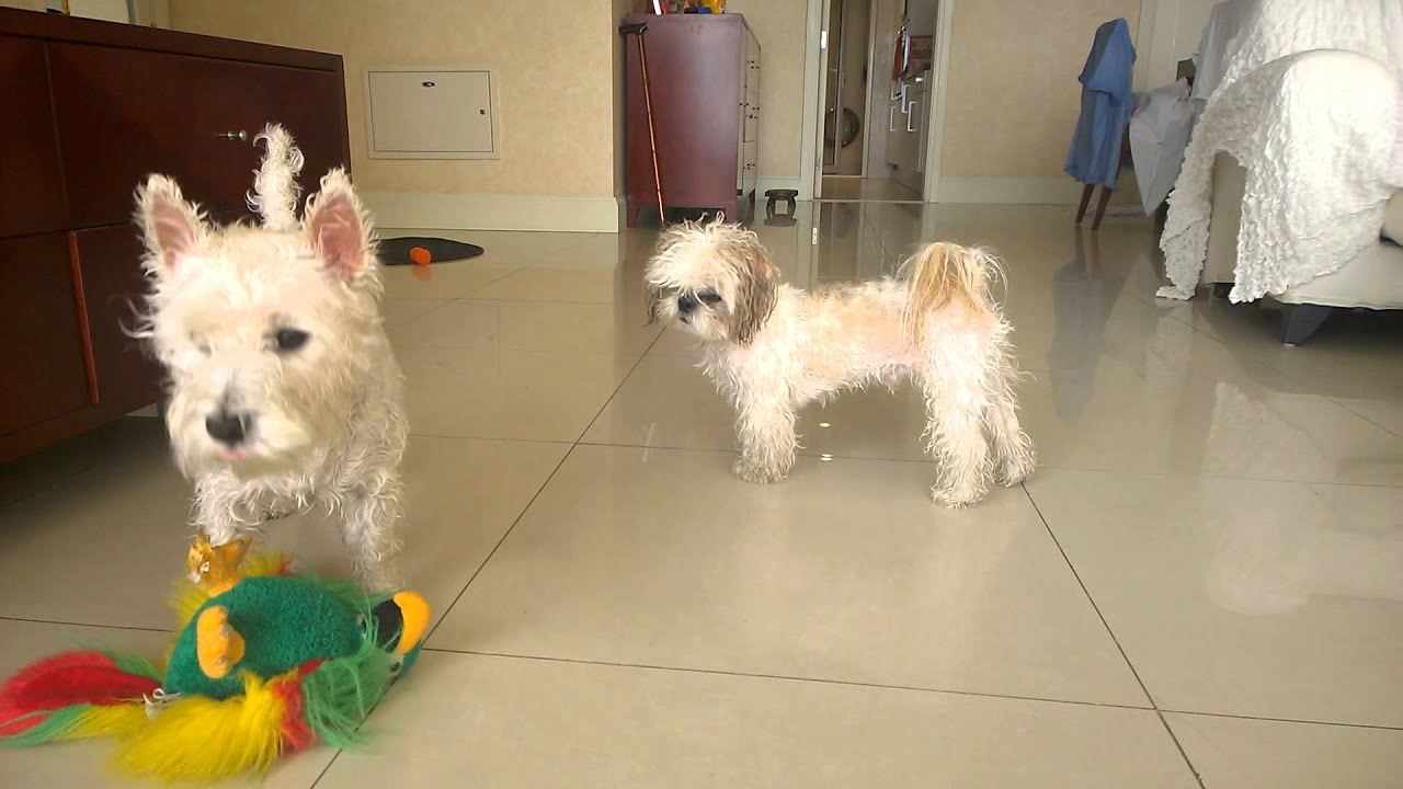 Westie annoys chinese imperial dog after bath youtube - Imperial westies ...