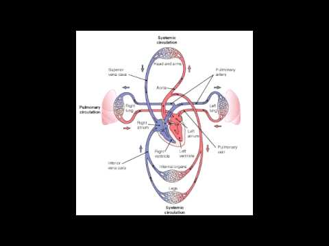 pulmonary vs systemic circulation youtube