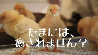 ひよこ #かわいい #名古屋農業センター.