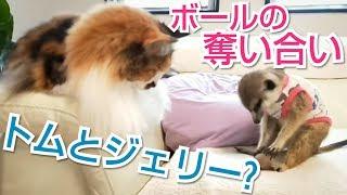 ミーアキャット&猫 トムとジェリー?な運動会🐾 thumbnail