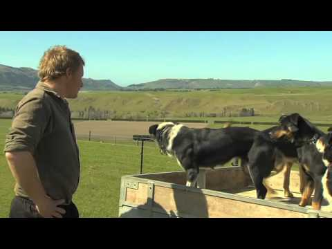 Just Shorn New Zealand Wool: Sheep dogs