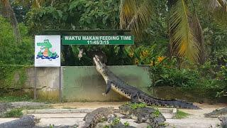 Live shots from langkawi crocodile farm.. jv
