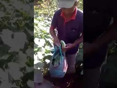 Kampoeng Wisata Agro Pondok Pesantren Petani Nusantara Dusun Cibadak Desa Paledah PANEN TIMUN