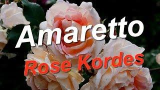 видео Роза Amaretto