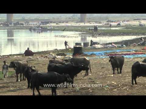 Buffalos crowd banks of Yamuna river at Agra - train passes on distant bridge