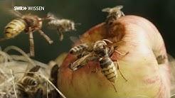 Bienen: So werden sie von Hornissen totgebissen!