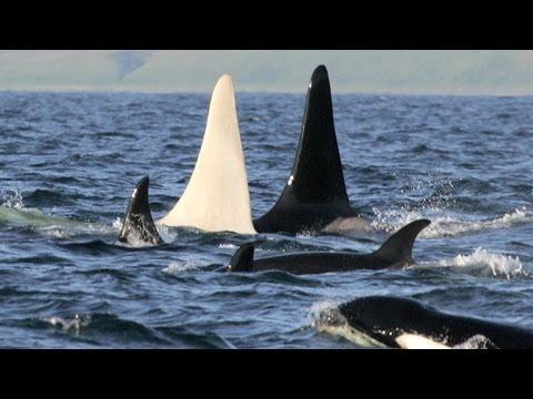 Em busca da orca albina