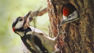 Great Spotted Woodpeckers Nest